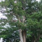 パワースポットに認定!江別で一番古い樹木【北海道江別市】
