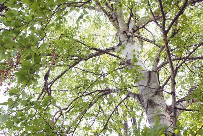白樺の新緑