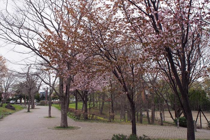 野幌グリーンモールの桜
