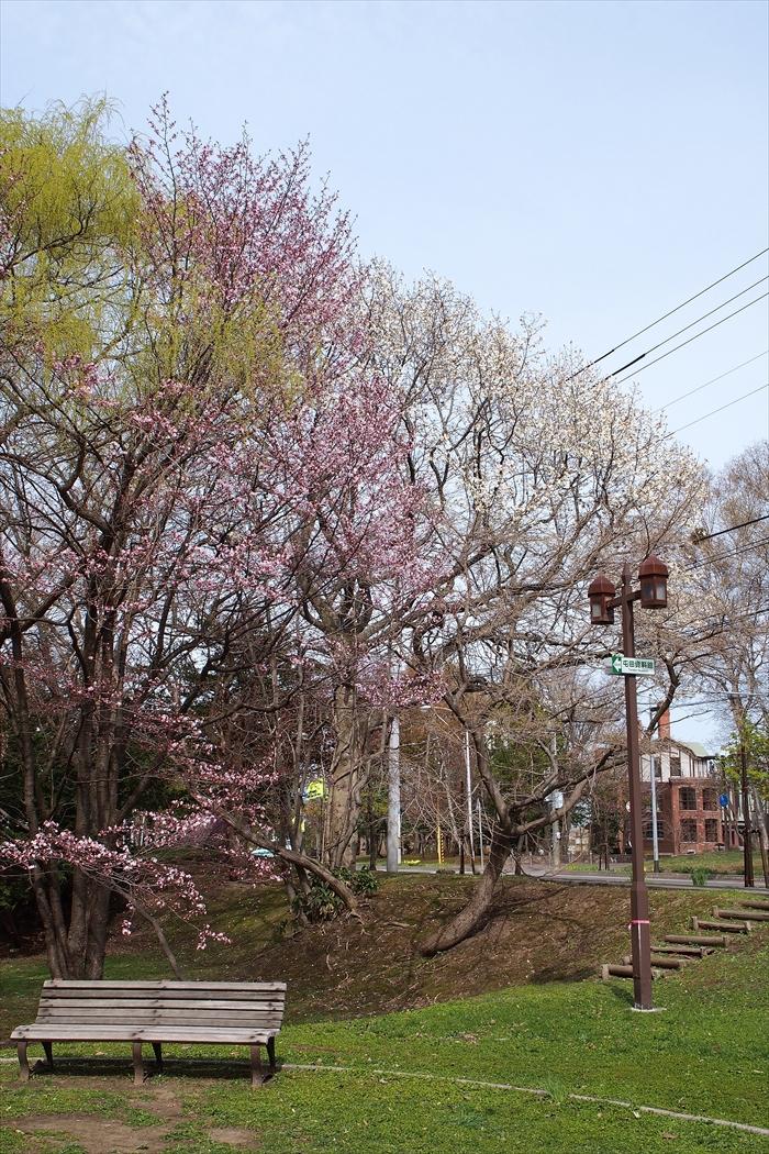 錦山緑地の桜