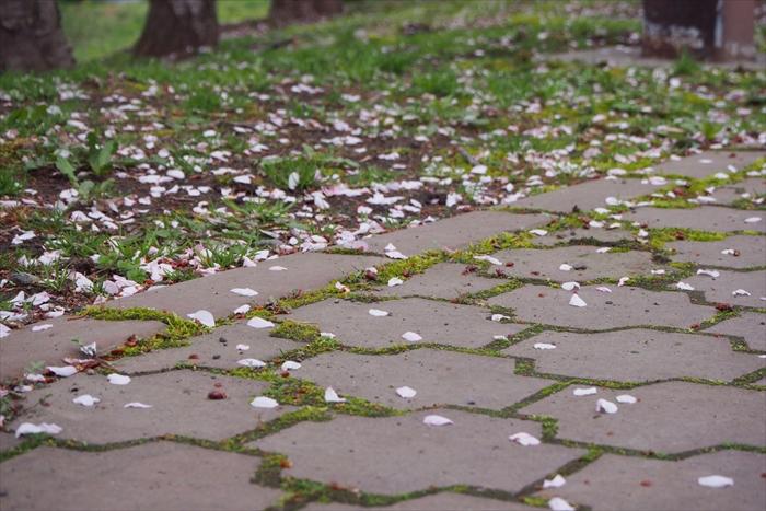 石畳に落ちる桜の花びら