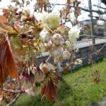 満開間近!?緑の花が咲く珍しい桜の御衣黄桜(ギョイコウザクラ)【江別市錦町】