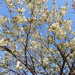 ついに満開!緑の花が咲く珍しい桜の御衣黄桜(ギョイコウザクラ)【江別市錦町】