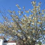 開花はGW明け?緑の花が咲く珍しい桜の御衣黄桜(ギョイコウザクラ)【江別市錦町】