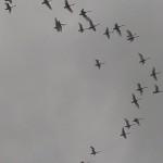 白鳥の飛行ルート 【江別市豊幌】